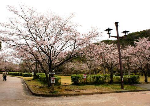 鏡山公園 桜の園 の写真