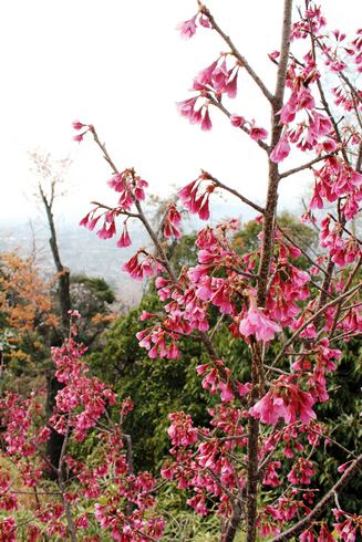 黄金山 のカンヒザクラ 写真