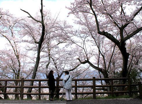 黄金山 の山頂は桜が咲き乱れる