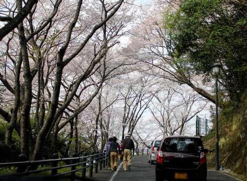 黄金山 を登っている途中(桜の下)