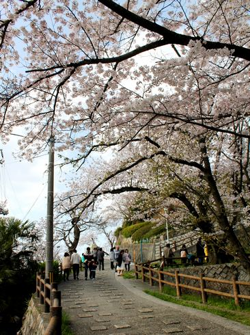黄金山 山頂の桜の様子2
