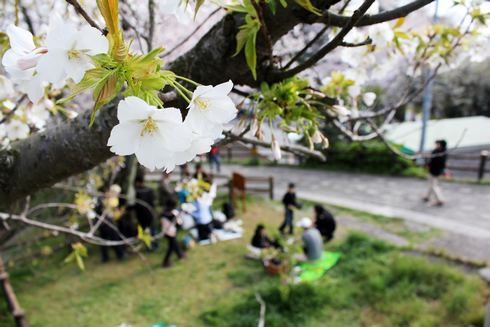 黄金山 白い桜もある