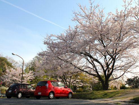 廿日市市 高速道路の高架下 桜並木