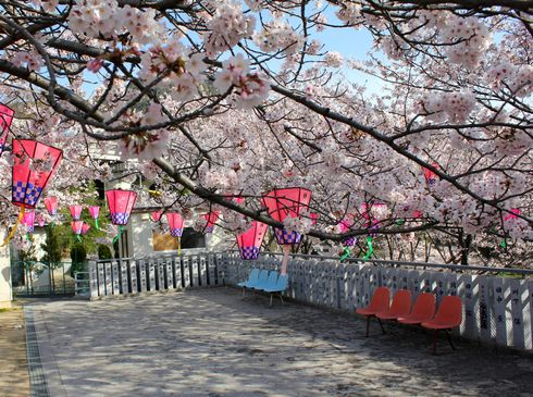 廿日市市 大田神社の桜の写真3