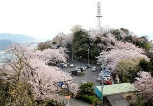 黄金山の桜 画像