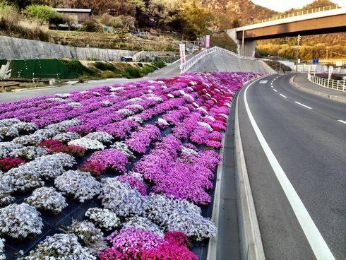 呉市の県道66号線沿いに シバザクラの郷、満開の芝桜が続く道