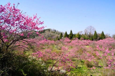 世羅 ラスカイファーム 菊桃を上から見た写真