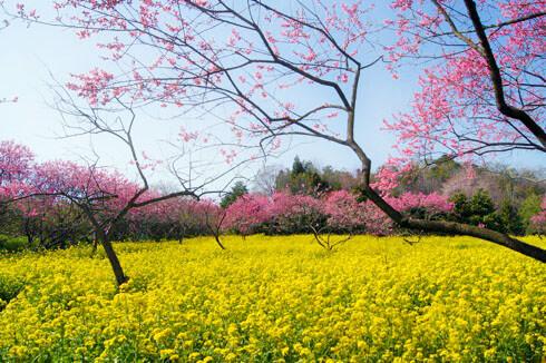 世羅 ラスカイファーム 菊桃と菜の花2