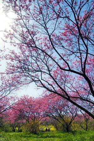 世羅 ラスカイファーム 菊桃の画像3