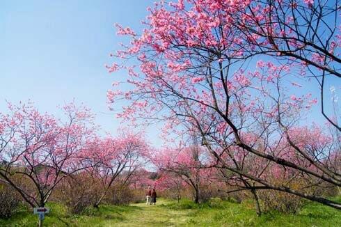 世羅 ラスカイファーム 菊桃の画像1