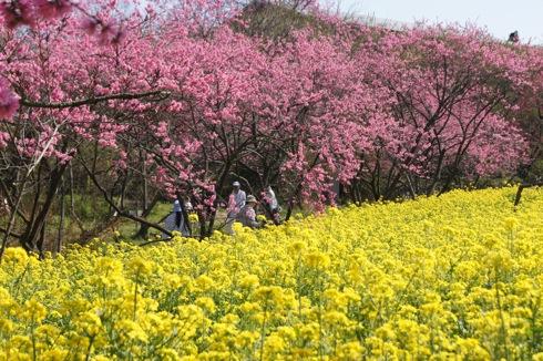 世羅 ラスカイファーム 菊桃と菜の花
