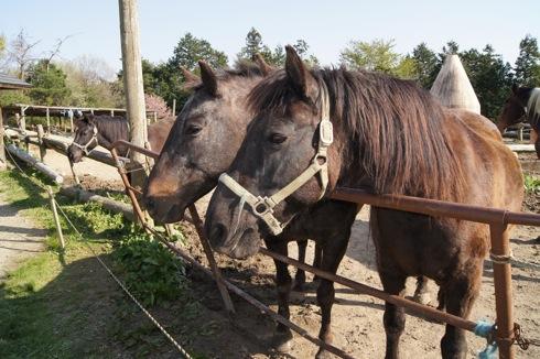 世羅 岡田牧場の馬の画像