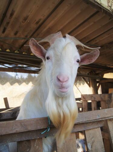 世羅 岡田牧場のヤギ