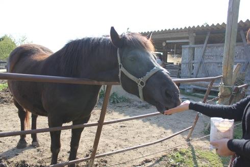 世羅 岡田牧場の馬にエサをやる1
