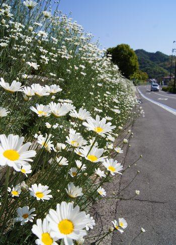 因島 フラワーセンター近くの除虫菊