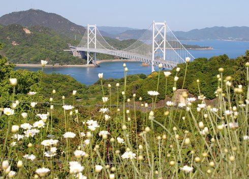 因島 除虫菊と因島大橋