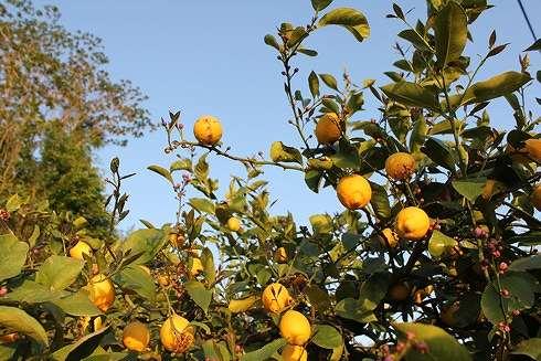瀬戸田 レモン谷の写真3
