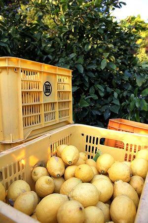 瀬戸田 レモン谷の写真2