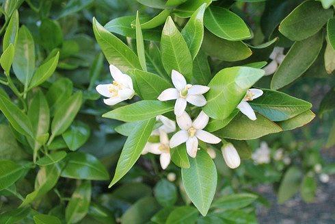 瀬戸田 レモンの花 写真