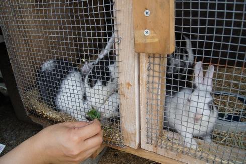 カドーレ 上ノ原牧場のウサギ