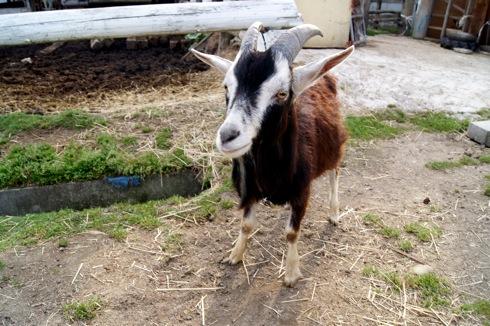 カドーレ のヤギ 画像