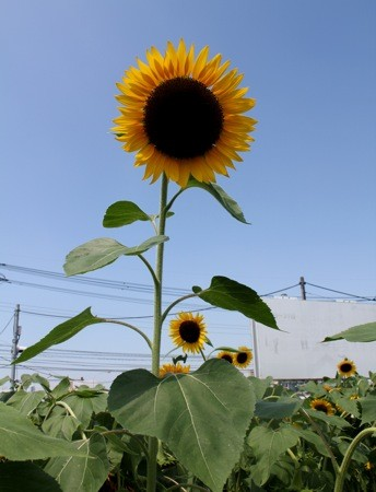 海田町の ひまわり畑、バイパス横に元気に咲く町の花