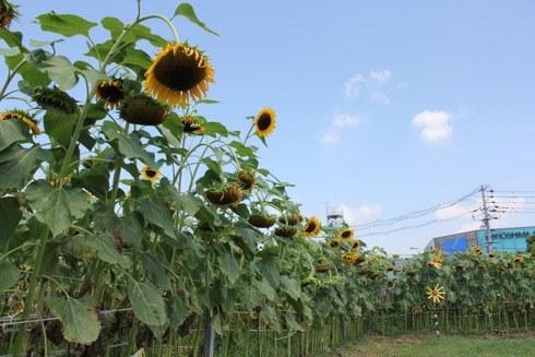 海田町の ひまわり畑の画像3