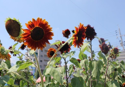 海田町の ひまわり畑の画像2