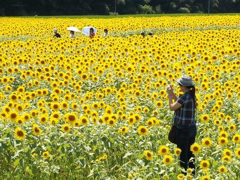 君田 ひまわりまつり、西日本最大級のひまわり畑
