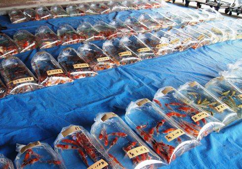 佐伯錦鯉市場 鯉たちの様子