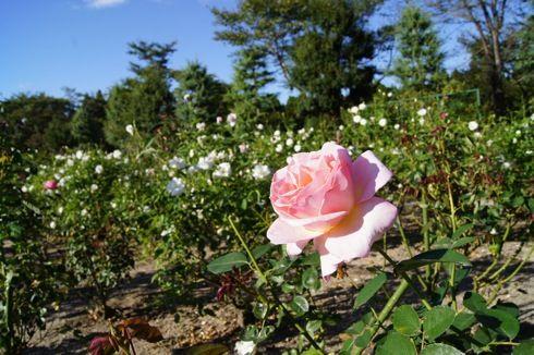 湧永庭園のバラ園3