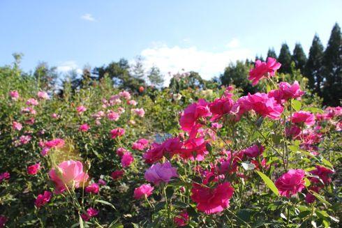 湧永庭園のバラ園2