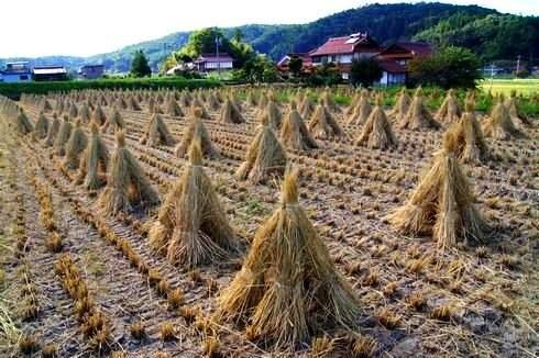 田んぼ、藁を干している様子
