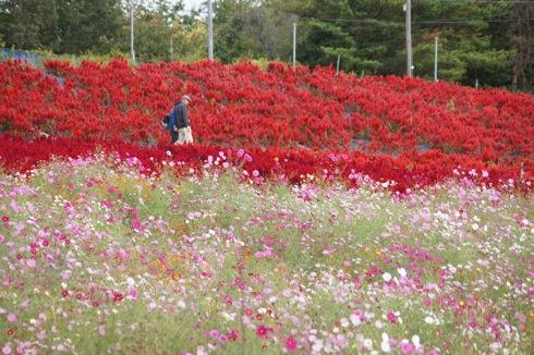 世羅ゆり園 秋の花祭り1