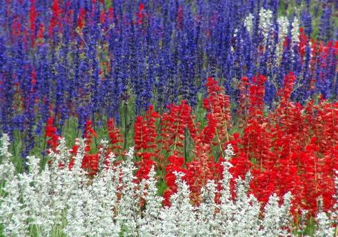 世羅ゆり園 サルビアの花21