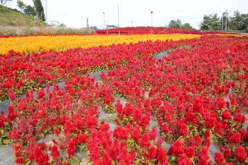 世羅ゆり園 ケイトウの花1