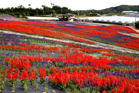 世羅ゆり園 サルビアの花1