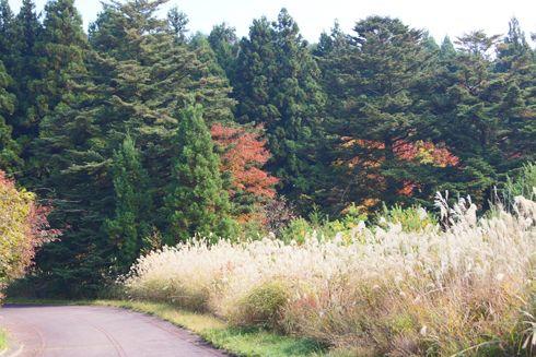 もみのき森林公園 ススキの画像