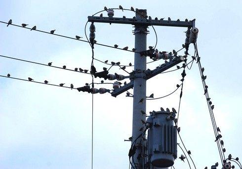 スズメが集まる電線