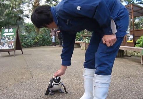 松江フォーゲルパークの恋するペンギン さくらちゃんがかわいすぎ!