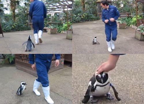 松江フォーゲルパーク ペンギン さくらの画像