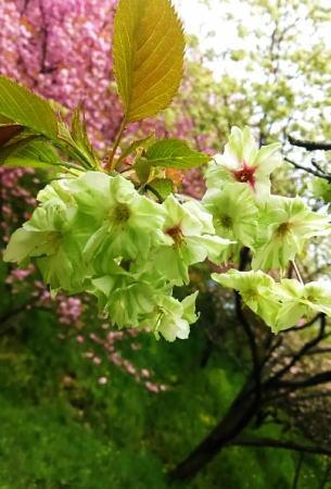 緑の桜 御衣黄(ぎょいこう) 画像