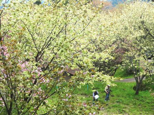 緑の桜 御衣黄(ぎょいこう) 画像11