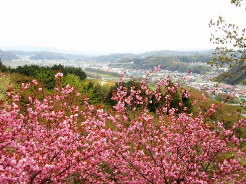 緑の桜 御衣黄(ぎょいこう) 画像12