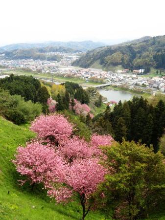緑の桜 御衣黄(ぎょいこう) 画像13