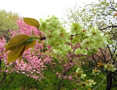 緑の桜 御衣黄(ぎょいこう) 画像3