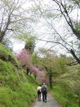 緑の桜 御衣黄(ぎょいこう) 画像8