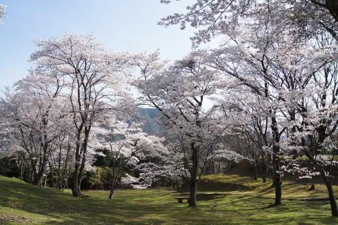 可部運動公園の桜 画像9