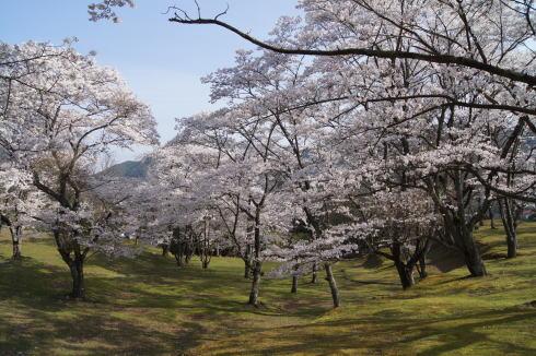 可部運動公園の桜 画像4