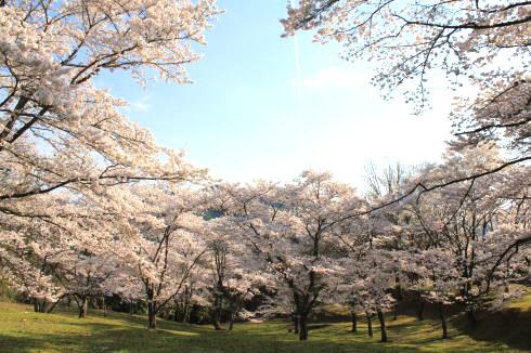 可部運動公園の桜 画像